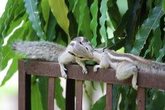 Amore dello scoiattolo Fotografia Stock Libera da Diritti