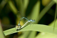 Amore di Gragonfly Fotografia Stock Libera da Diritti