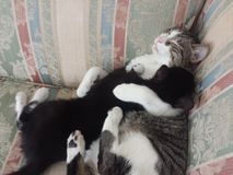 Amore di Kitty Immagini Stock Libere da Diritti
