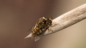 Amore di Marmelade Hoverfly fotografie stock libere da diritti