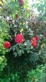AMORE di rosa di colore rosso Immagine Stock Libera da Diritti