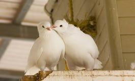 Amore e piccioni bianchi Fotografia Stock Libera da Diritti