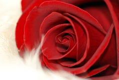 Amore Rosa Fotografia Stock Libera da Diritti