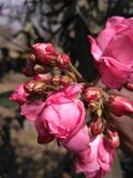 Amore rosa del fiore Immagini Stock