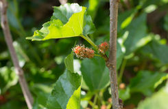 A amoreira branca é erva para o ser humano e o alimento para o sem-fim de seda Imagem de Stock