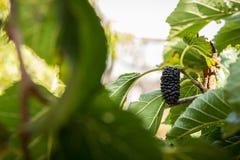 Amoreira na exploração agrícola de Gedera Fotos de Stock