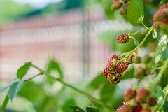 Amoreira no jardim Fotografia de Stock