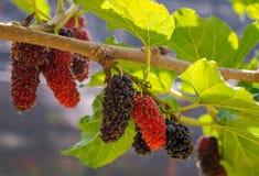 Amoreira orgânica fresca Fotos de Stock Royalty Free