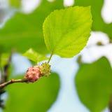Amoreiras maduras na folha verde Fotos de Stock