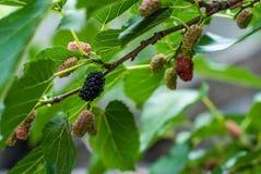 Amoreiras maduras que penduram em um ramo Foto de Stock