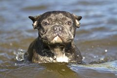 Amores do buldogue francês a nadar na água fotos de stock