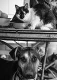 Amores Perros Fotografia de Stock