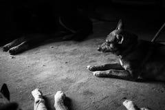 Amores Perros Fotografia Stock