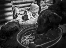 Amores Perros. Julio 42 year-old from Berazategui, he rescued and recovering stray dogs found abandoned, sick or in poor condition, is in charge of hygiene, food Stock Photos