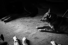 Amores Perros. Julio 42 year-old from Berazategui, he rescued and recovering stray dogs found abandoned, sick or in poor condition, is in charge of hygiene, food Stock Photography
