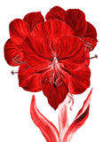 Amorillis. Flowers - amaryllis. Drawing ink. Wallpaper. Royalty Free Stock Image