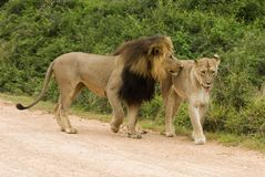 Amorous Lions Stock Photography