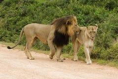 amorous lions Arkivbild