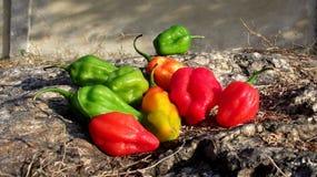 amorous ljus färgrik isolerad peppar pepprar vita söta twosomes Arkivbild