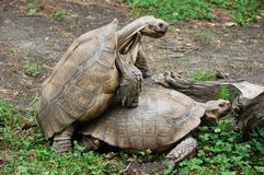 Amorous Tortoises Royalty Free Stock Images