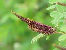 Amorpha fruticosa开花,叫作沙漠穗花槐、错误靛蓝灌木和拙劣的indigobush 库存图片