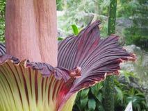 Amorphophallus Titanum或在绽放的尸体花 图库摄影