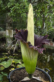 Amorphophallus titanum a flowering plant with the largest unbran Royalty Free Stock Image