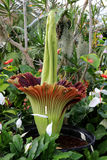 Amorphophallus Titanum (Leichen-Blume) in der Blüte Stockfoto