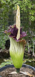 Amorphophallus titanum, titan arum, corpse flower Royalty Free Stock Image