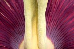 Amorphophullus Titanium ( Corpse Flower) close up to petal Stock Image