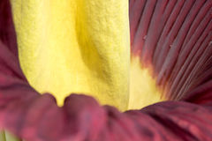 Amorphophullus Titanium ( Corpse Flower) close up to petal Royalty Free Stock Photos