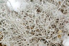 Amortissez Bush dans les branches grises de vert mat avec le fond de neige photographie stock