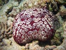 Amortissez les étoiles de mer en récif coralien maldivien image stock