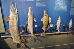 Amostras dos peixes Imagem de Stock Royalty Free