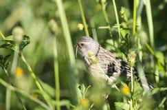 Amoungst d'oiseau les mauvaises herbes Photo stock