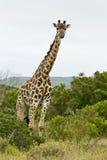 Amoungst de girafe les arbres Images libres de droits