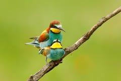 Amour animal, Abeille-mangeurs européens joignant sur la branche au fond vert et jaune clair, Hongrie Scène de faune d'action de Photo libre de droits