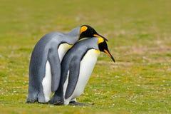 Amour animal Couples de pingouin de roi caressant, nature sauvage, fond vert Deux pingouins faisant l'amour Dans l'herbe Scène f  Photo stock