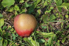 Amour Apple rouge dans l'herbe Images stock