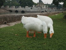 Amour blanc du jardin deux de canard Image stock