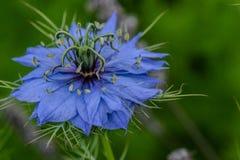 Amour bleu dans la brume Photo libre de droits