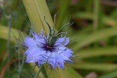 Amour bleu de bigorneau dans la brume Images stock