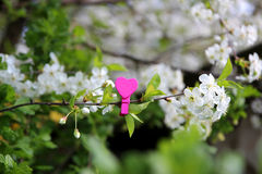 Amour Coeur en bois dans les fleurs de cerisier Pince à linge en bois sous forme de coeur Images libres de droits