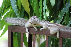 Amour d'écureuil Photo libre de droits