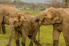 Amour d'éléphant Photographie stock