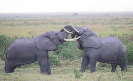 Amour d'éléphant Images stock