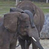 Amour d'éléphant Photo libre de droits