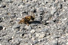 Amour d'abeille Images libres de droits