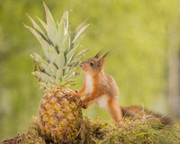 Amour d'ananas Images stock