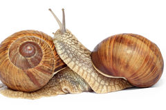 Amour d'escargot Image stock